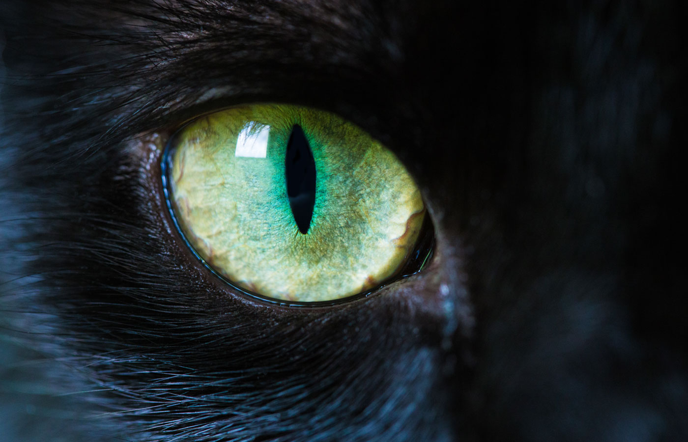 A macro close up of a piercing bright green cat eye of a jet black cat